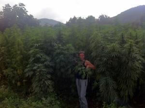 Kif plantation in Rif area- Morocco